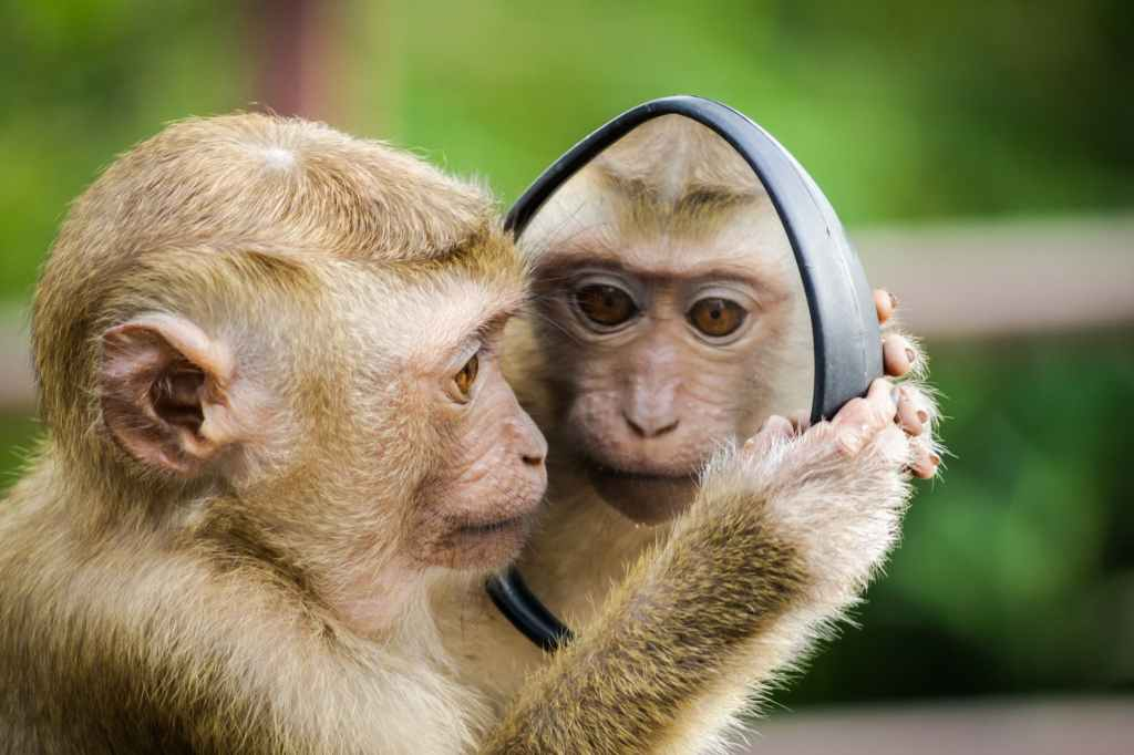 """Monkey gazing at its reflection in a hand-held mirror as if wondering """"Who are you?"""""""